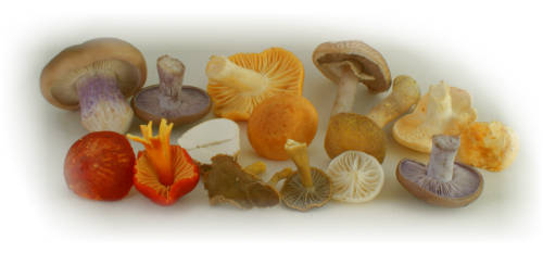 group of edible mushrooms