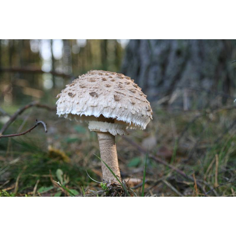 Parasol Mushroom (Macrolepiota procera) Mushroom ... |Parasol Mushroom