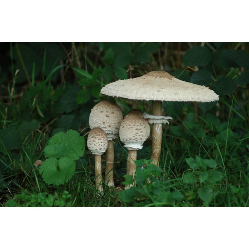 Parasol |Parasol Mushroom